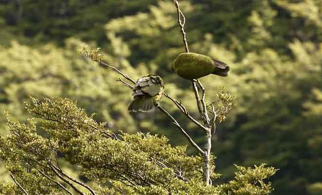 Reportage sur le kea des montagnes