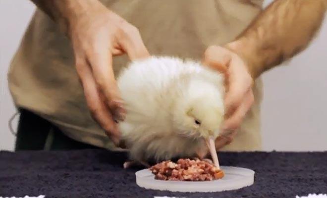 Manukura est un petit kiwi blanc qui a ému tout le pays.