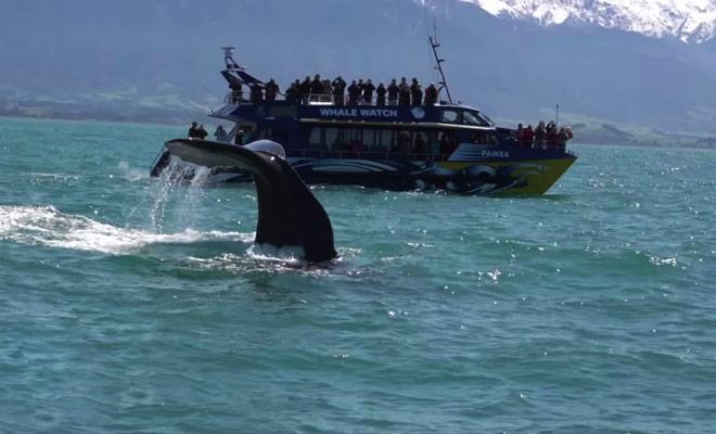 Cette vidéo vous montre comment se déroule une sortie pour regarder les baleines dans la péninsule de Kaikoura.