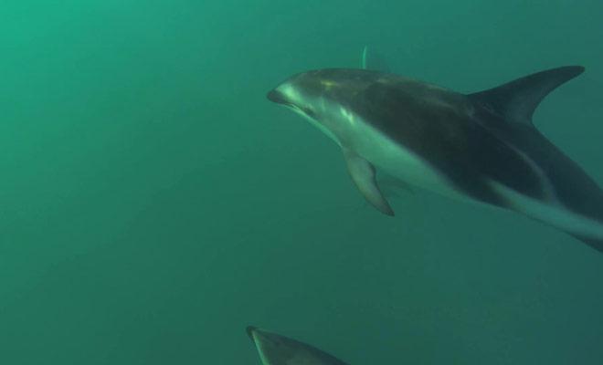 Ce documentaire représente la nage avec les dauphins dans la péninsule de Kaikoura, au large de l'île du Sud.