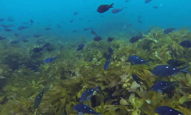 Une vidéo remarquable où le plongeur sous l'océan est entouré de centaines de poissons.