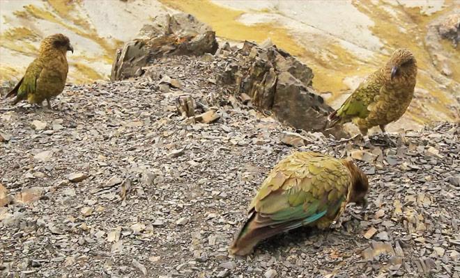 Découvrez comment vivent les perroquets Kea Peuple les montagnes de Nouvelle-Zélande sur l'île du Sud.