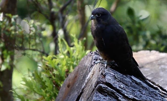 Le faucon Karearea est une espèce menacée réintroduite dans le sanctuaire Karori de Zealandia.